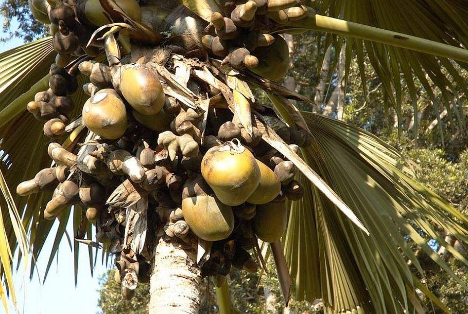 coco de mer fruit on the tree