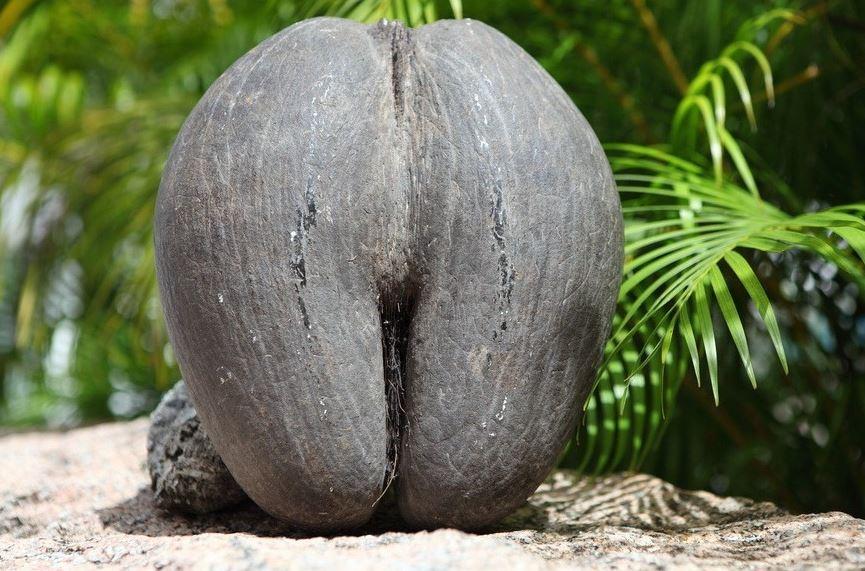coco de mer fruit shape