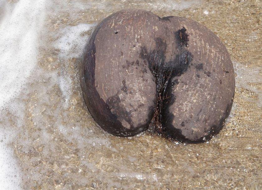 coco de mer on the sand