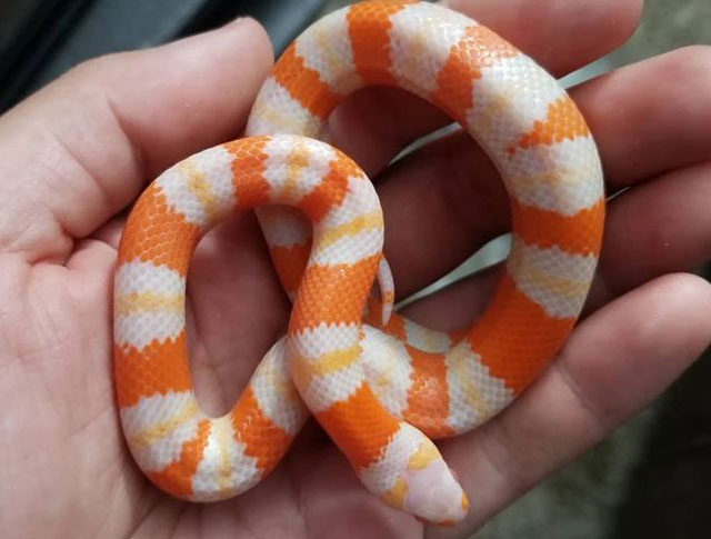 Facts About Milk Snakes