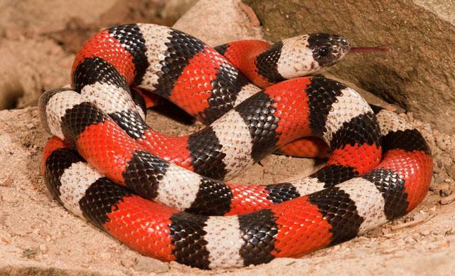 Milk snake change the color