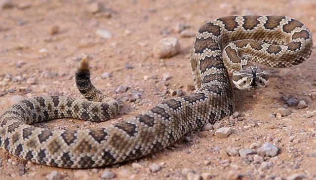 Rattlesnake snake vs milk snake
