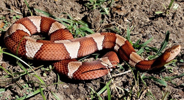 difference between a milk snake, a copperhead snake and a coral snake