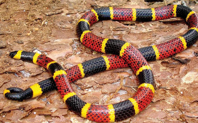 the difference between a milk snake, a copperhead snake and a coral snake