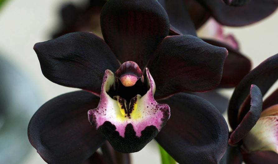 Black Orchid is a rare flowers in indonesia