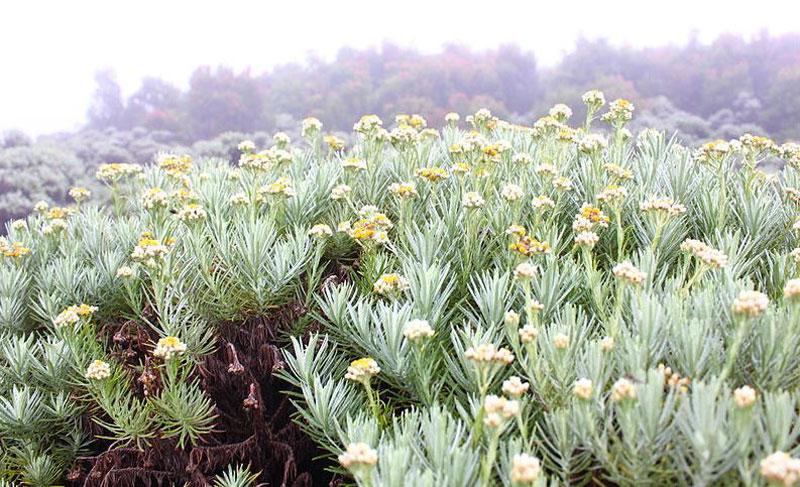 Javanese Edelweiss