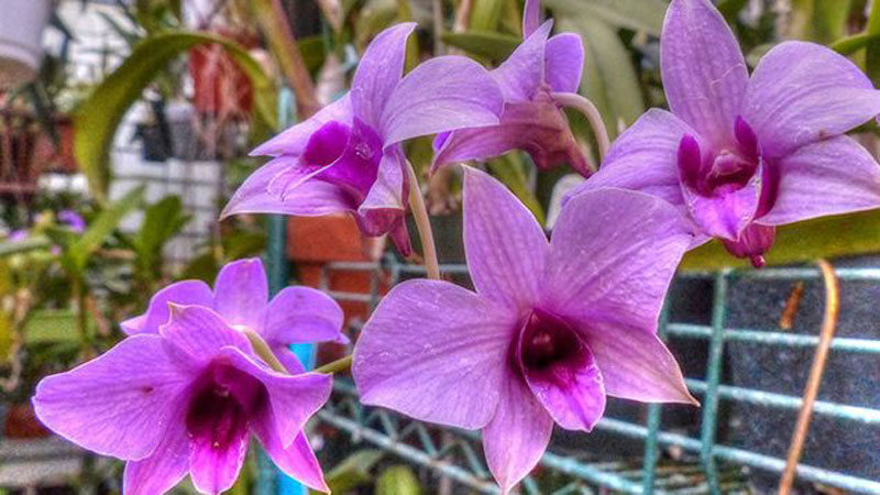 Larat Orchid is one of the rare floers in indonesia