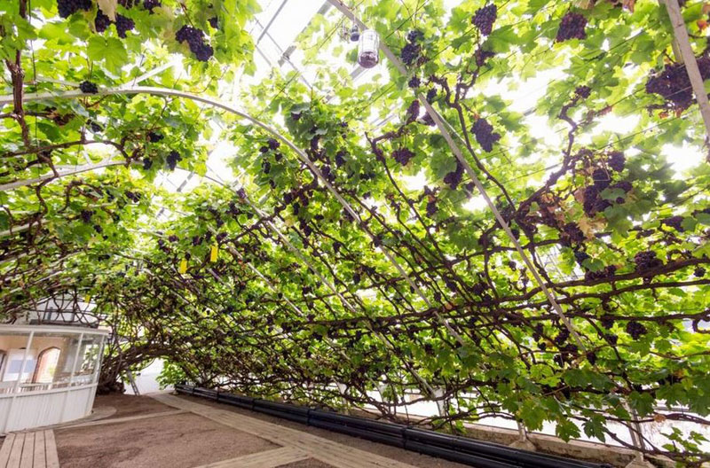 The World's Largest Vine Grows in Hampton Court palace