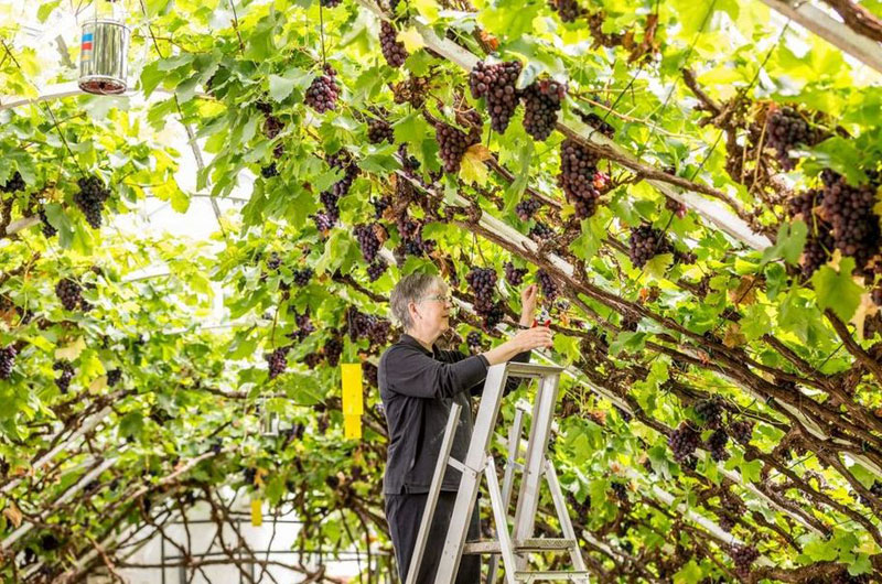 World's Largest Vine Grows in Hampton Court palace