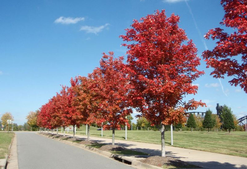 How to Care for Autumn Blaze Maple Tree